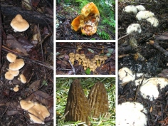 Top Quality Gourmet Wild Mushrooms harvested in North America